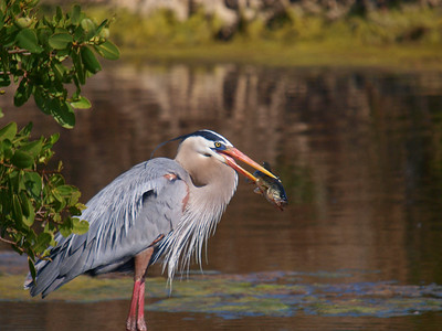 (GB5) Great Blue Heron with Bass