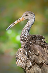 Limpkin was grooming feathers