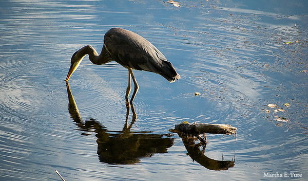 Great Blue Heron Drinking