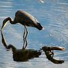 Great Blue Heron Drinking