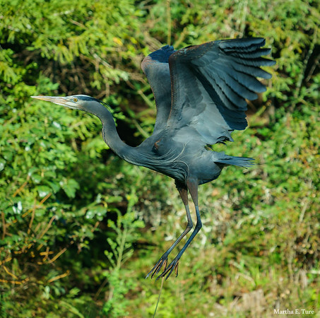 Great Blue Heron Aloft
