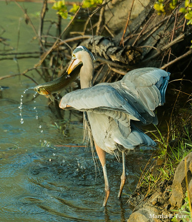 Great Blue Heron With Trout, Sacramento Fine Arts Center Where The Wild Things Are Exhibition, 2018.
