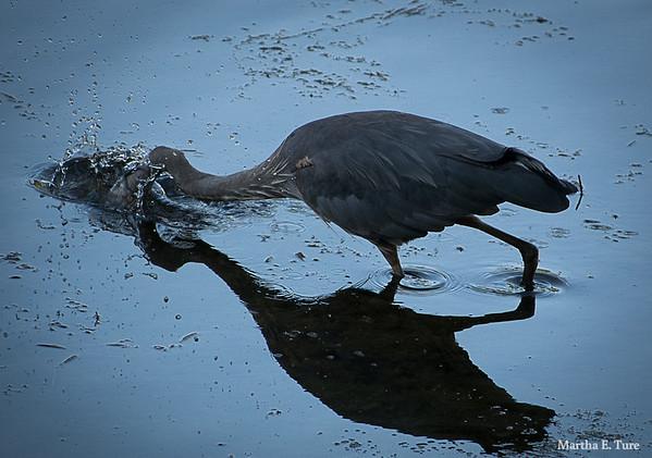 Great Blue Heron Fishing Fail #2