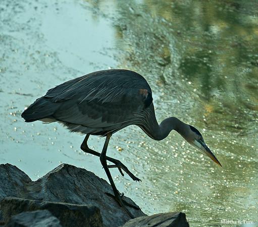 Great Blue Heron stalking fish