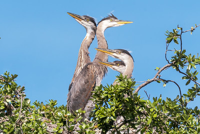 (GB46) Great Blue Heron Chicks on Nest