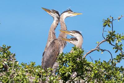 (GB46) Great Blue Heron Chicks on Nest