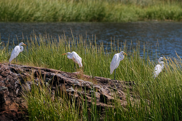 Great Egrets By Water