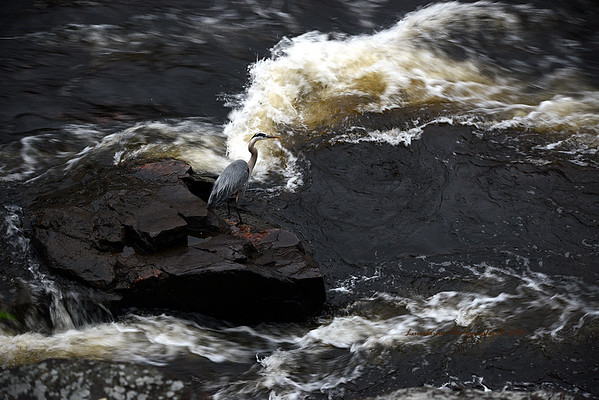 Blue Heron Under Taylors Falls Bridge