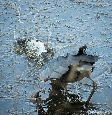 Great Blue Heron Fishing Fail #4