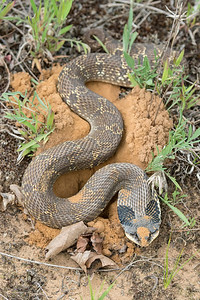 Eastern Hog nosed Snake Gravid, digging a nest