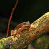 Spring Peeper (Pseudacris crucifer) found calling at a pond in on 3-09-2007; Boone Co, MO