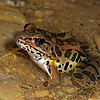 Pickerel Frog (Rana palustris) found in a cave; Jefferson Co, IN