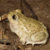 Male Spea bombifrons (Plains Spadefoot Toad) found in Columbia, MO in a flooded corn field near the Missouri River; May 6, 2007.