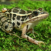 Rana palustris (Pickerel Frog); Rockwoods Conservation Area, St. Louis Co, MO