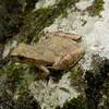 Spring Peeper (Pseudacris crucifer); Boone Co, MO
