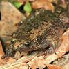 Gastrophryne carolinensis (Eastern Narrow-mouthed Toad) found 22  April; Wayne Co, MO