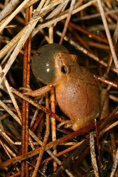 Spring Peeper (Pseudacris crucifer) found calling at a pond; Boone Co, MO