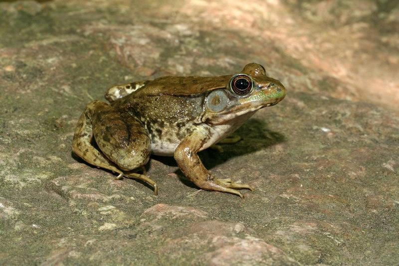 Rana clamitans melanota (Green Frog); Rockwoods Conservation Area, St. Louis Co, MO