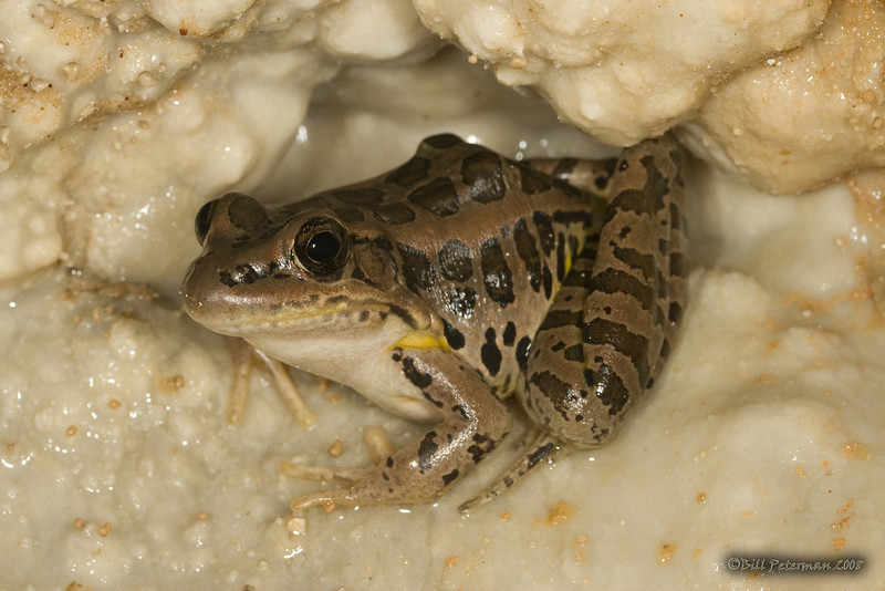 Pickerel Frog (Rana palustris) from Gourd Cave, Phelps Co., MO
