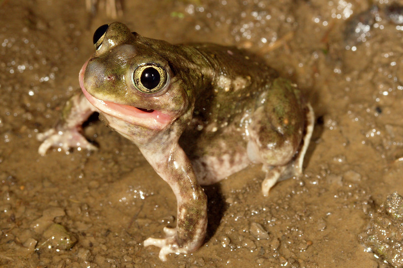 A crooked-mouthed female Spea bombifrons (Plains Spadefoot Toad) found in Columbia, MO in a flooded corn field near the Missouri River; May 6, 2007.