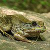 Rana clamitans melanota (Green Frog); Rockwoods Conservation Area, St. Louis Co, MO