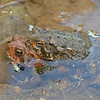 An amplexed pair of toads.  One is a Fowler's Toad and the other an American Toad