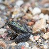 Acris crepitans (Northern chard's Cricket Frog), Pine Hills, Ill