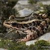 Rana palustris (Pickerel Frog); Boone Co., MO