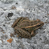 Pickerel Frog (Rana palustris); Montgomery Co, MO
