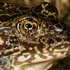 Rana areolata (Crawfish Frog) from Dave's Pond, Vigo Co., IN