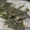 Acris crepitans blanchardi (Blanchard's Cricket Frog); Boone Co., MO