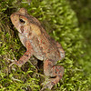 American toad (Bufo americanus) found along a roadside; Macon Co., NC