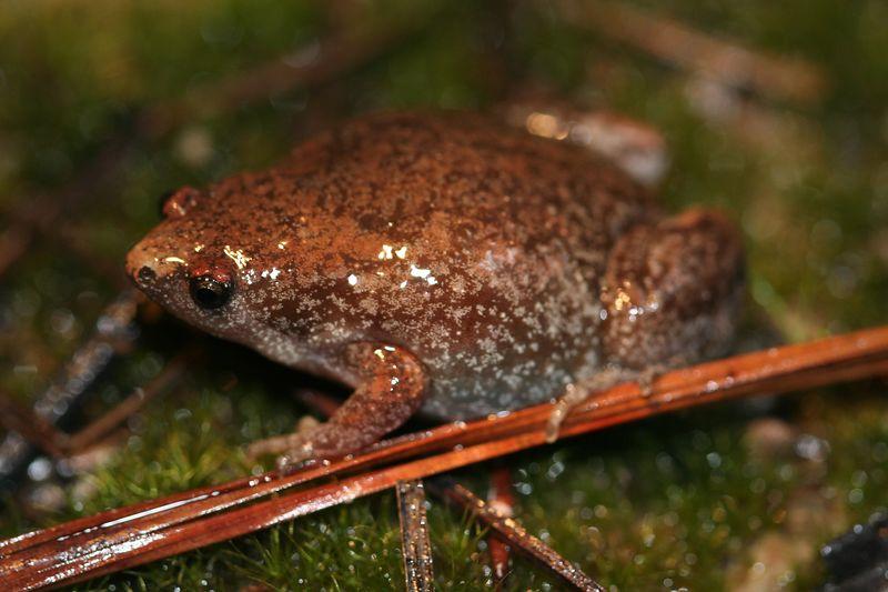 Narrow-Mouthed Toad (Gastrophryne carolinensis); SREL