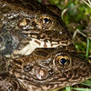 Amplectant pair of Rana areolata (Crawfish Frog) from Dave's Pond, Vigo Co., IN