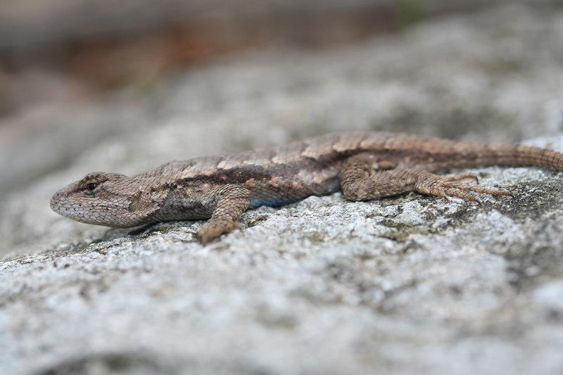 Fence Lizard (Sceloporus consobrina), formerly Sceloporus undulatus--Boone Co; MO