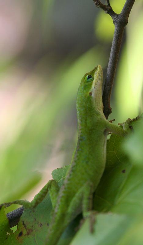 Green Anole (Anolis carolinensis); SREL
