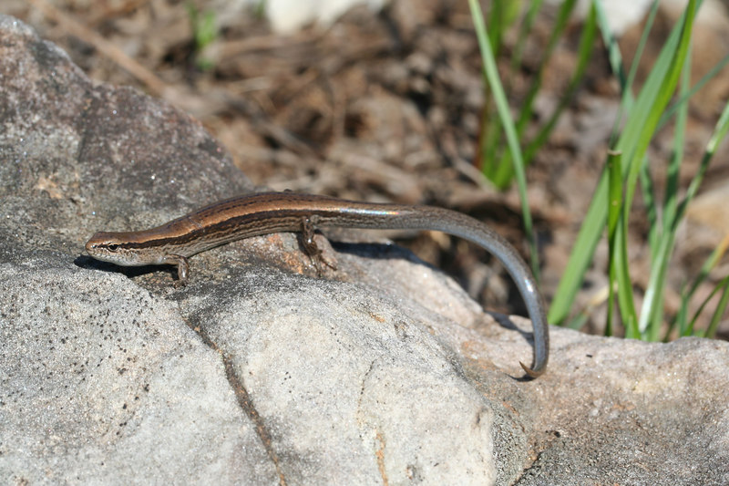 Ground Skink (Scincella lateralis) from Montgomery Co, MO.
