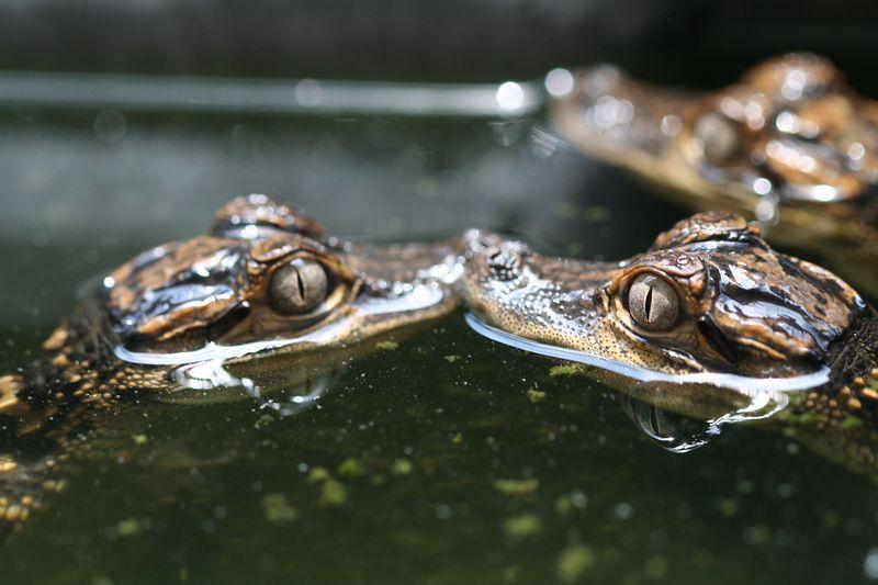 Juvenile American Alligators at Savanna River Ecology Laboratory (South Carolina)