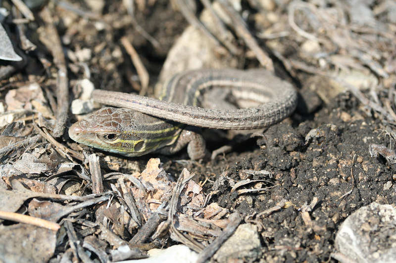 Six-Lined Racerunner (Aspidoscelis sexlineatus); Montgomery Co, MO