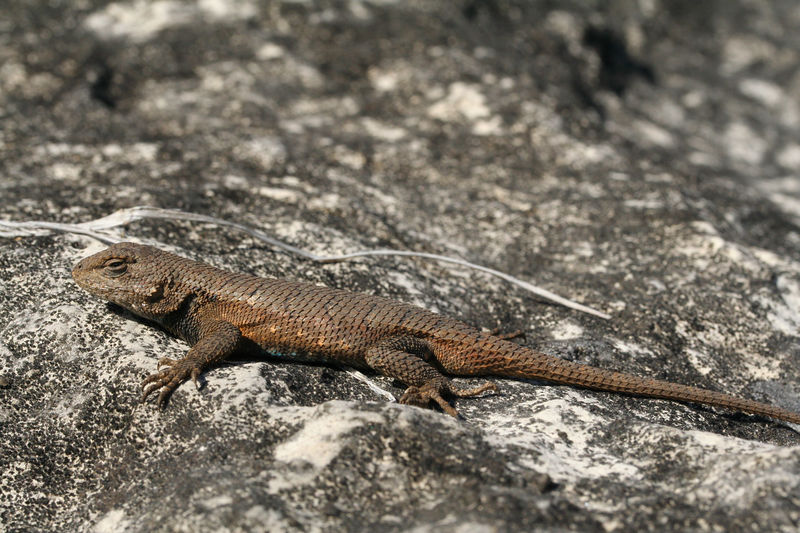 Northern Fence Lizard--Male (can see hint of blue behind front limb)  NOTE: S. consobrinus is the new species name.  Formerly S. undulatus hyacinthus