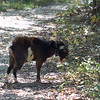 A goat seen along the trail while searching for Ringed Salamanders
