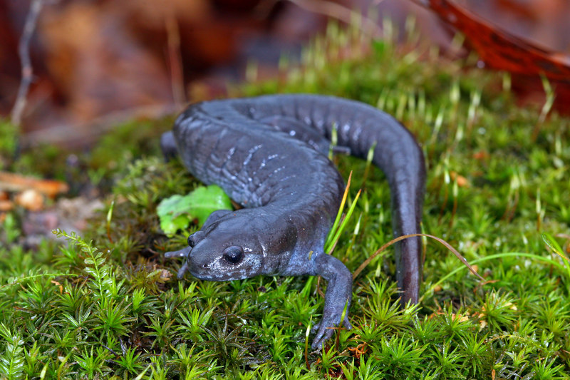 Smallmouth Salamander (Ambystoma texanum) found in a well; Jefferson Co, IN