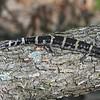Ringed Salamander (Missouri)