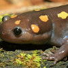 A lage female Ambystoma maculatum (Spotted Salamander) found 22  April; Wayne Co, MO