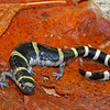 Ambystoma annulatum (Ringed Salamander), a gravid female; Warren Co, MO