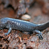 Ambystoma talpoideum (Mole Salamander), Johnson Co, Illinois