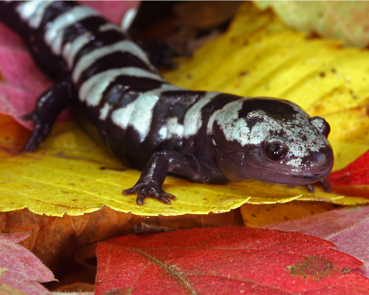 Ambystoma opacum (Marbled Salamander) from Wayne Co, MO
