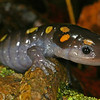 Male Ambystoma maculatum (Spotted Salamander) found coming to a breeding pond on 3-09-07; Boone Co, MO
