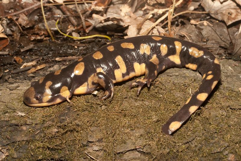 Gravid female Tiger Salamander from Clark Co., Illinois