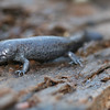 Defensive posturing of mole salamander (Ambystoma talpoideum)from Johnson Co, Ill.